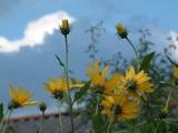 Zonnebloemen op De Coolewee Bathmen